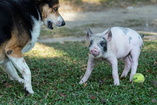 Dogs and Pigs in Thai