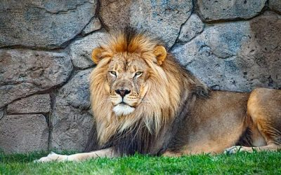 The man and the lion – Thai listening practice
